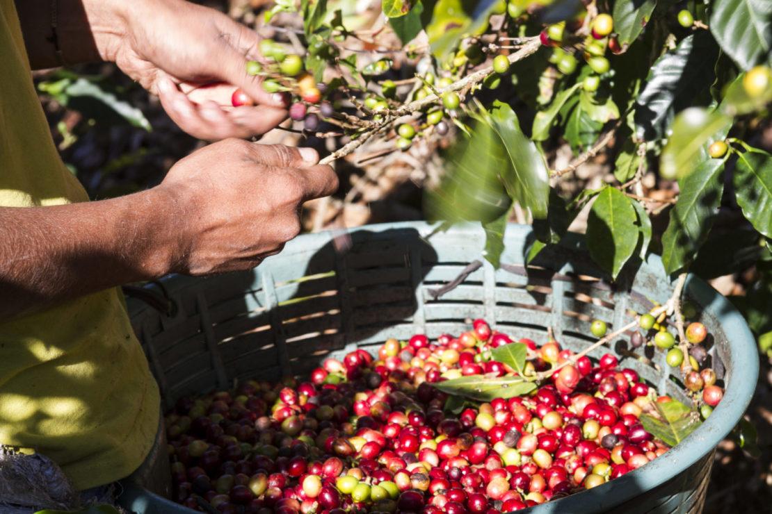 Costa Rica, café y flora