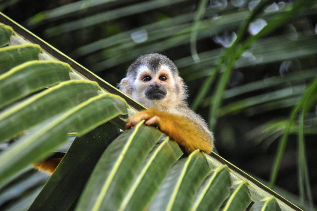Costa Rica, mono
