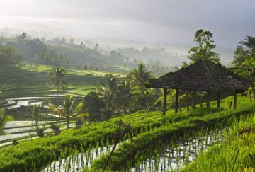 Rice paddy indonesia
